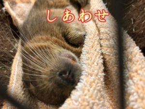 幸せそうに眠るデグー先生