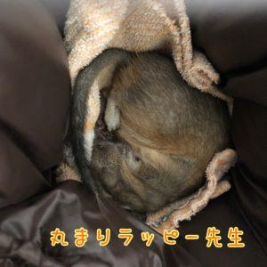 丸まって眠るデグー先生