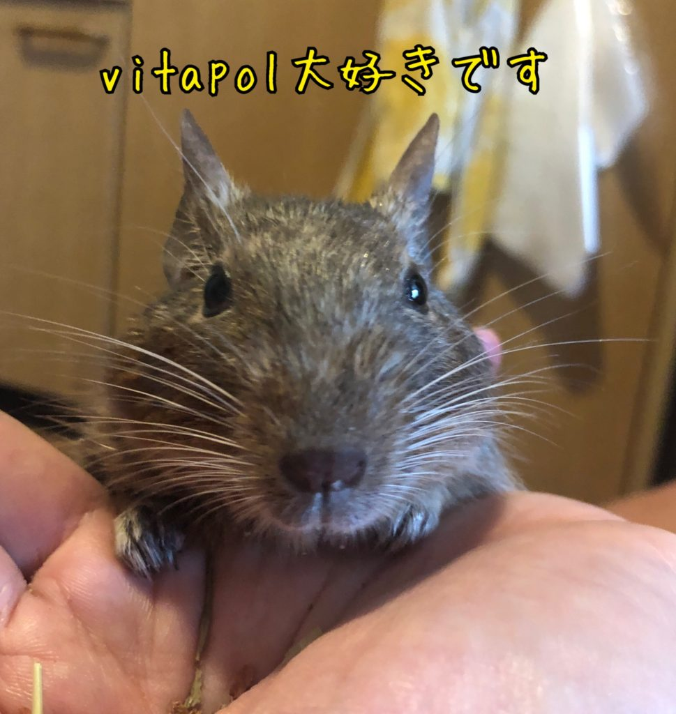 vitapolを食べるデグー先生